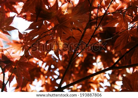 Beautiful red maple leaves against a sunny sky in early fall - stock photo
