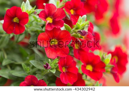 beautiful red million bells flower, calibrachoa. Spring flower with many red bloom in springtime - stock photo