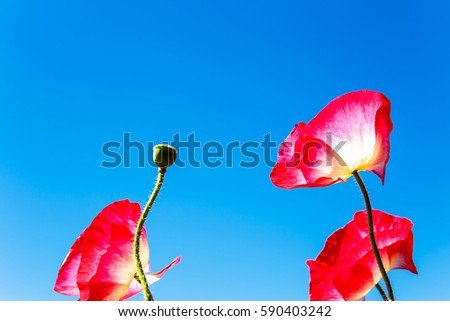 Beautiful red opium flower with blue sky.