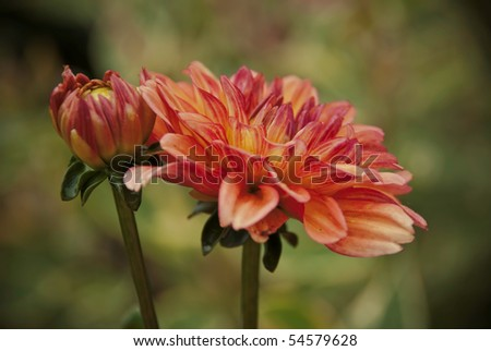 Beautiful red /orange / brown  Dahlia blooming with a nice DOF background - stock photo