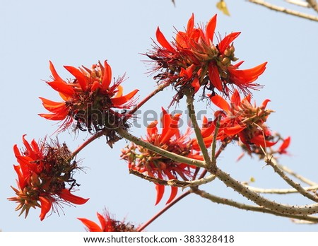 Beautiful red orange group flowers blue stock photo royalty free beautiful red orange group flowers blue sky background indian coral tree variegated tigers claw mightylinksfo