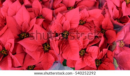 Beautiful red poinsettia flowers for Christmas decorations