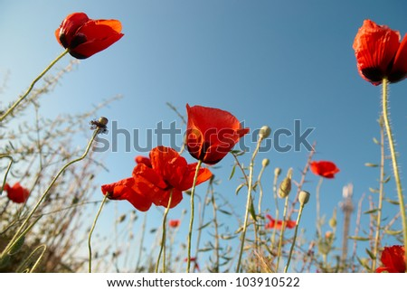 Beautiful red poppies on the blue sky background