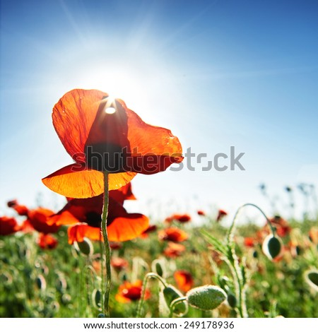Beautiful red poppies on the green field with shining sun - stock photo