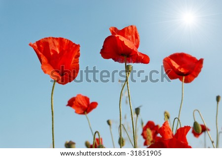 Beautiful red poppies with sun and blue sky background