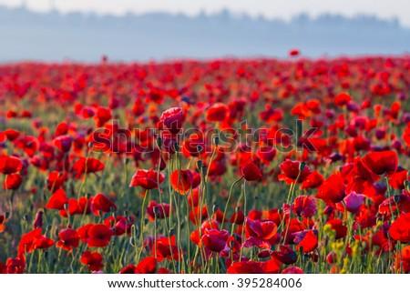 beautiful red poppy field landscape - stock photo