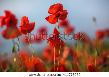 Beautiful red poppy flowers blooming on field against sky background. - stock photo