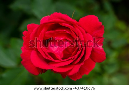 Beautiful red rose blossoms on a bush in the garden