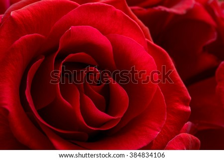Beautiful Red Rose Close up. Macro Flower Background Photo - stock photo