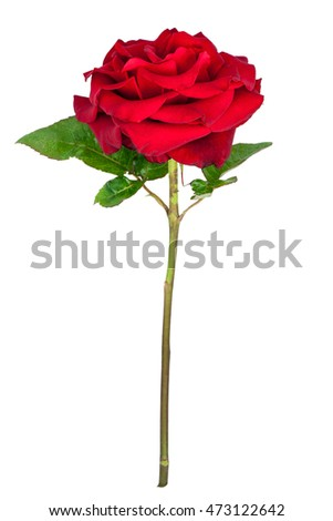 Beautiful red rose flower with stem and leaves isolated on white background.