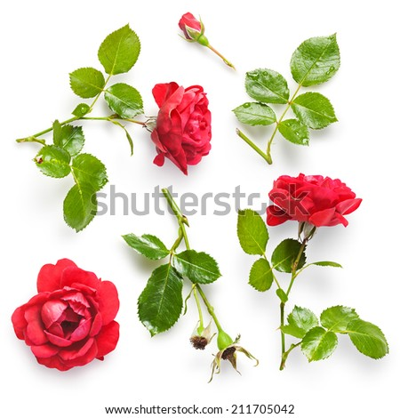 Beautiful red rose flowers collection isolated on white background. Fresh climbing roses with water drops - stock photo