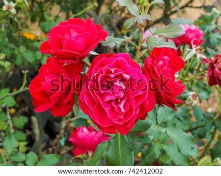 flowers for garden. Beautiful Red Rose Flowers In Garden. For Garden