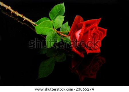 Beautiful red rose isolated on reflective black background - stock photo