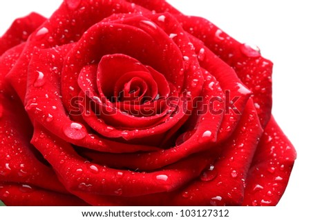 beautiful red rose on white background with drops - stock photo