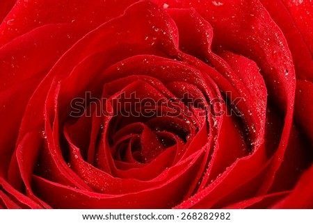 Beautiful red rose with water droplets.