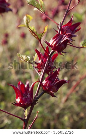 Beautiful red roselle on tree - stock photo