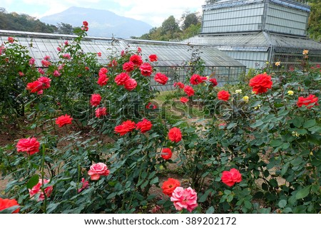 Beautiful red roses in rose garden - stock photo