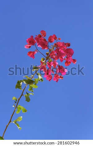 Beautiful red santa rita flowers low angle view photo against clean blue sky at background - stock photo