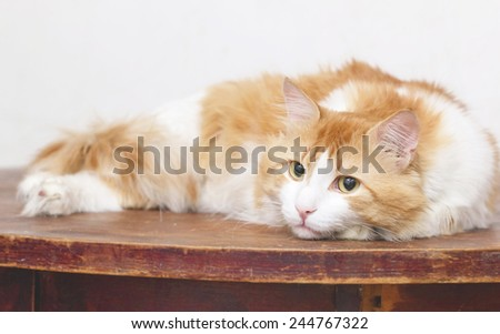Beautiful red thoughtful cat is on table