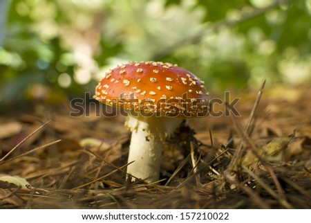 Beautiful red toadstool, Amanita muscaria, with shallow depth of field. - stock photo