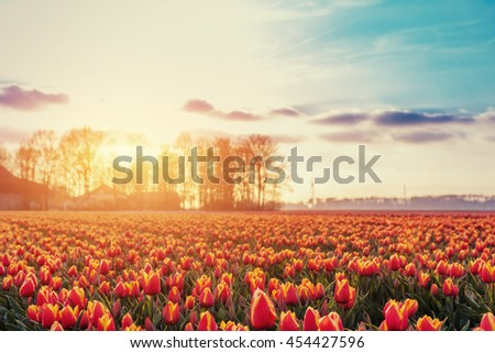 Beautiful red tulip field in the Netherlands. Fantastic event with cumulus clouds. Holland - stock photo