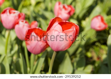 beautiful red tulip in spring time