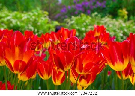 Beautiful red tulips - stock photo