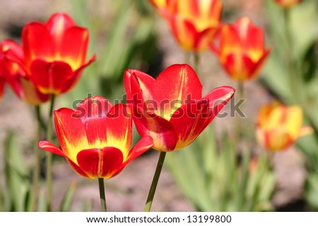 beautiful red tulips in spring