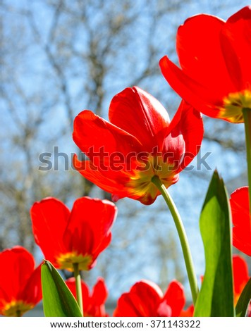 Beautiful Red Tulips in the Field under Spring Sky in Bright Sunlight - stock photo