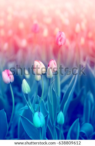 Beautiful red tulips on the blue sky background