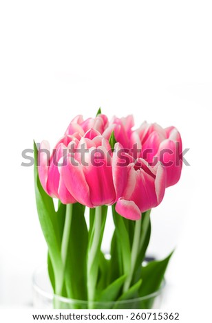 Beautiful red tulips on white background.