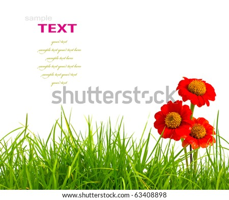 Beautiful red zinnia flowers and fresh spring green grass isolated on white background. - stock photo