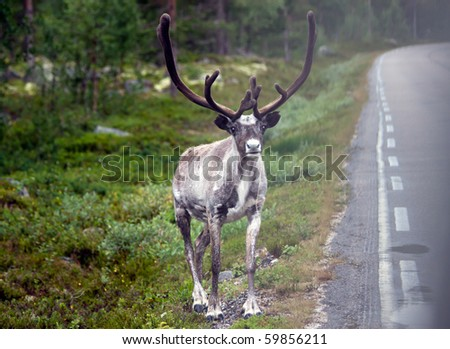 beautiful reindeer next to the street in norwegian woods