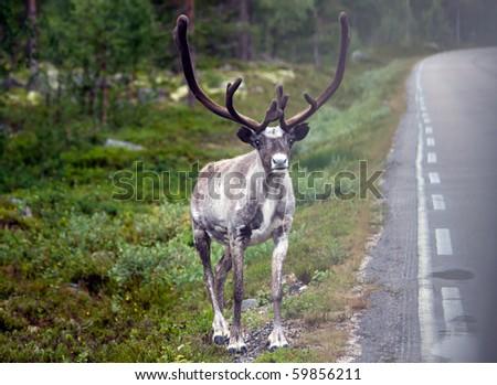 beautiful reindeer next to the street in norwegian woods - stock photo