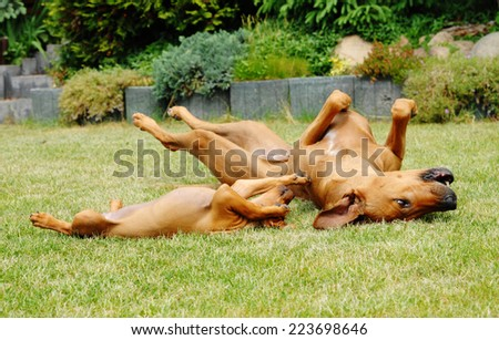 Beautiful Rhodesian Ridgeback female dog is teaching her offspring gently. The mother is biting the puppy in its muzzle to socializing it. They are rolling together on the green grass in garden. - stock photo