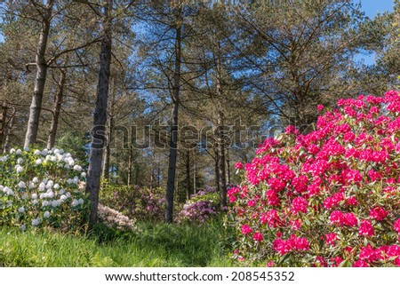 Beautiful rhododendron bushes in an arboretum outdoor park in Roglanad, Norway - stock photo