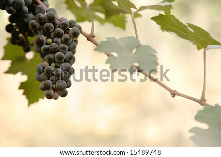 Beautiful ripe dark grapes on vine - stock photo