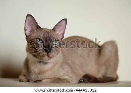Beautiful Roan Cat are lying with Focus on the face.
