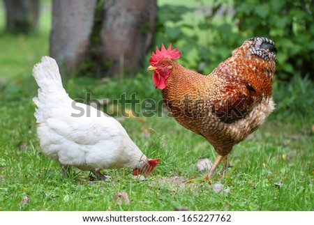 beautiful rooster and chicken on a background of green grass  - stock photo