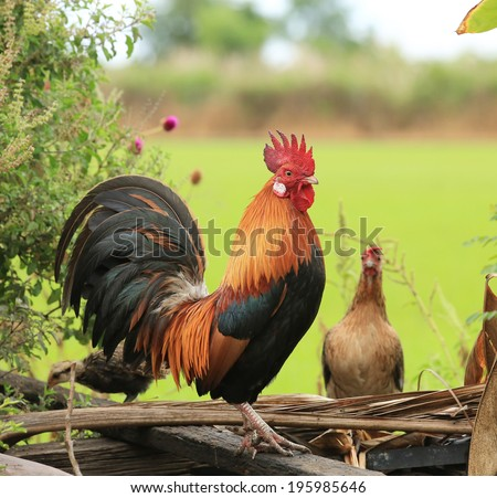 Beautiful Rooster on nature background - stock photo