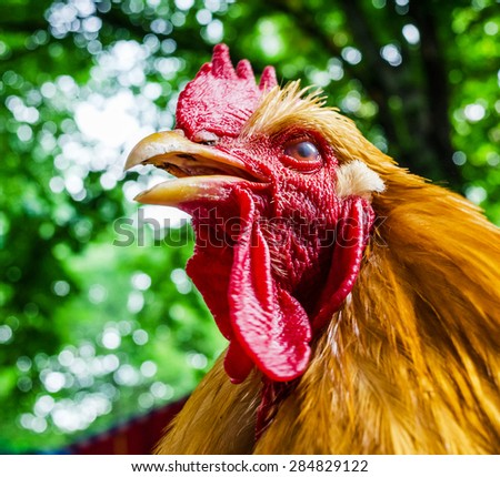 Beautiful Rooster on nature background. Selective focus. A little of DOF. - stock photo