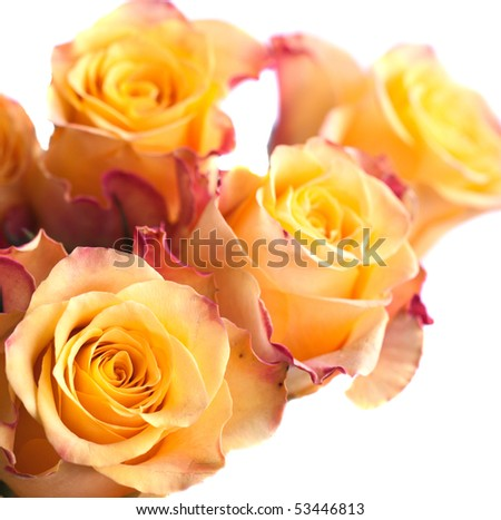 Beautiful rose close-up,isolated on white - stock photo