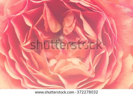 Beautiful rose close-up, large size - stock photo