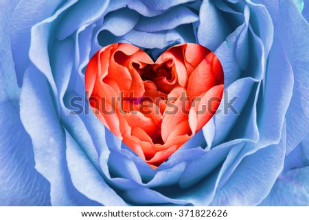 Beautiful rose close-up, large size with a heart in the middle - stock photo