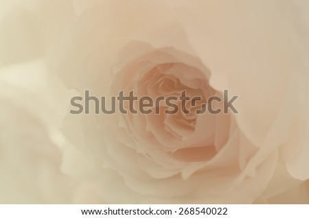 Beautiful rose, English rose, Wedgwood rose, vintage style. - stock photo