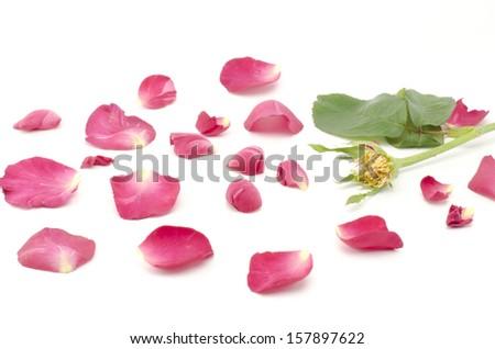 beautiful rose flower isolated on white background - stock photo