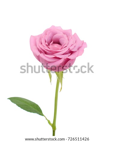 beautiful rose flower isolated on white background