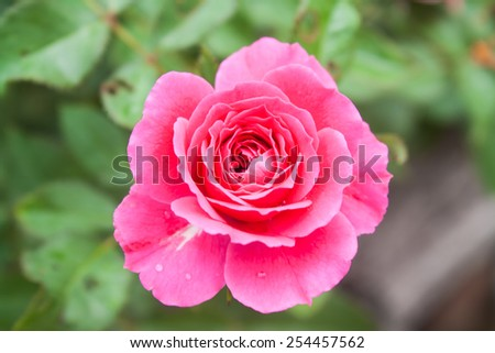 Beautiful Rose Flower (Rosa sp.) in a Park - stock photo