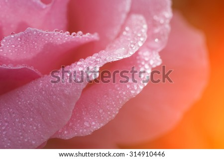 Beautiful rose flower with drops of dew - stock photo
