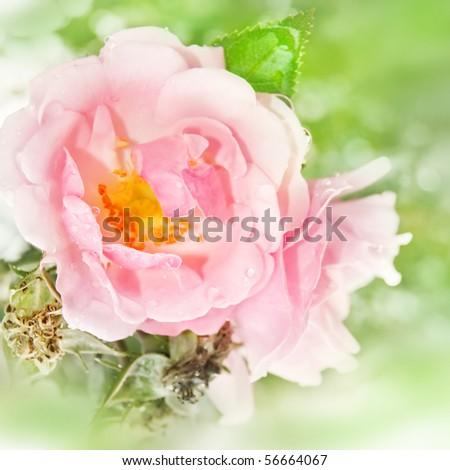 Beautiful rose garden (selective DOF) - stock photo
